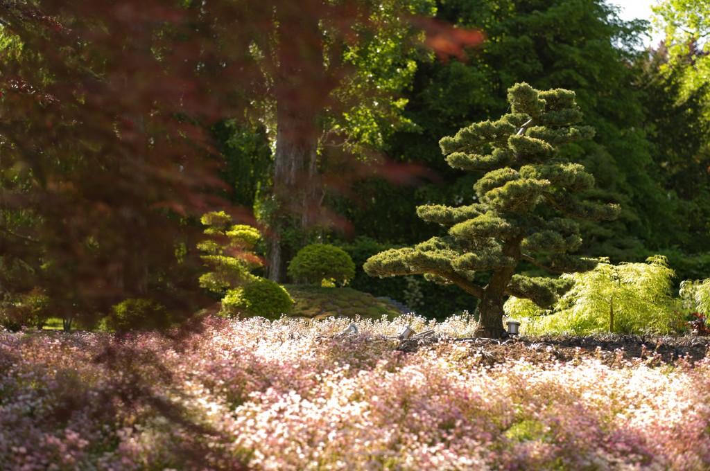 Pinus parviflora sur floraison de saxifrage