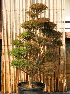 Enkianthus perulatus arbre