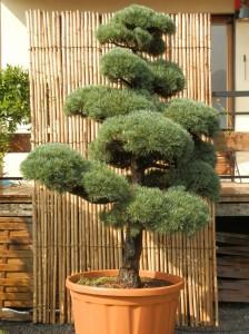 Pinus pentaphylla 2