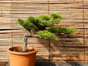 Pinus thunbergii 1