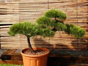 Pinus thunbergii 2