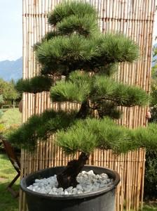 Pinus thunbergii 3