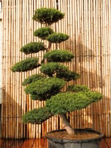 35 ans hauteur 1m70 largeur 1m40 arbre légèrement penché belle silhouette courbée réf : txcu 2 2009