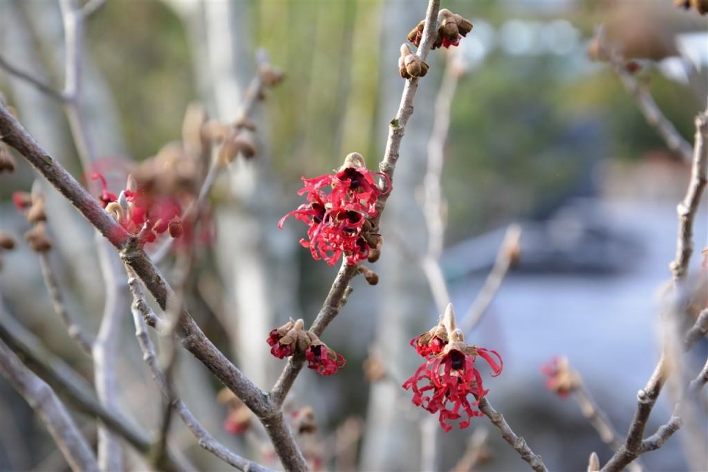 Hamamelis 'Diane' et sa floraison rouge ...